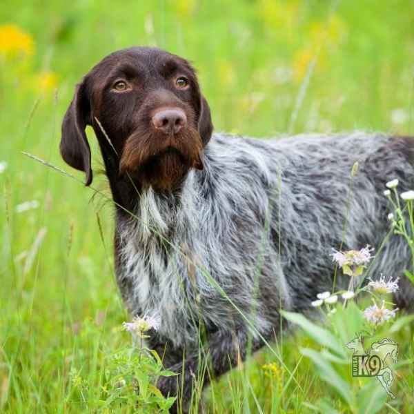 Wirehaired Pointing Griffon resmi