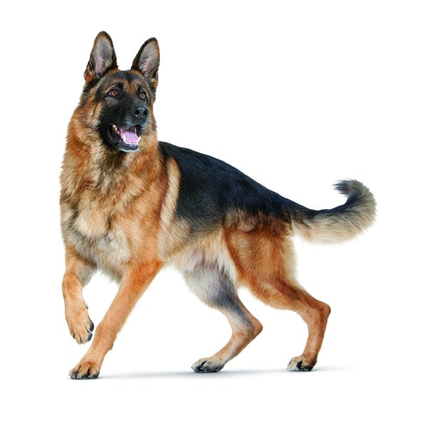 Alman Çoban Köpeği hakkında bilgiler