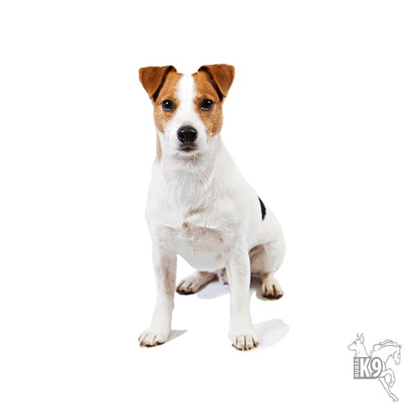 Jack Russell Terrier hakkında bilgiler