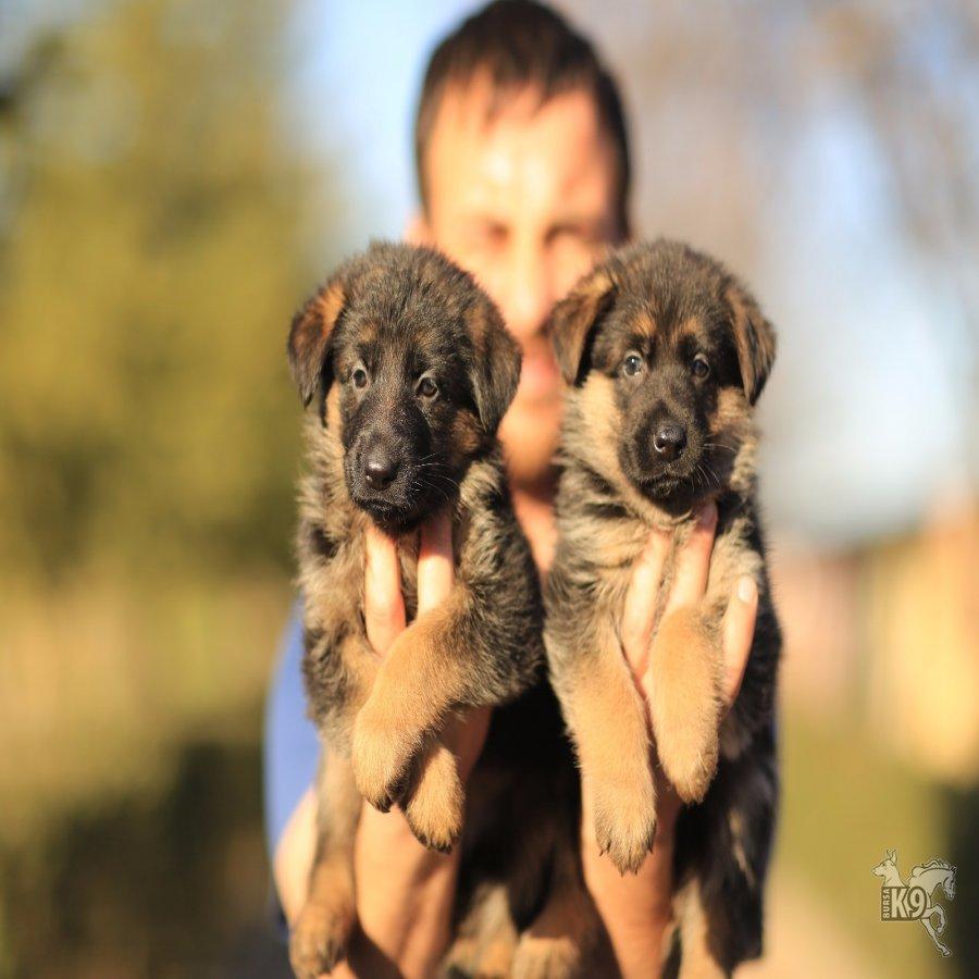 Satılık Alman Çoban Köpeği Yavruları