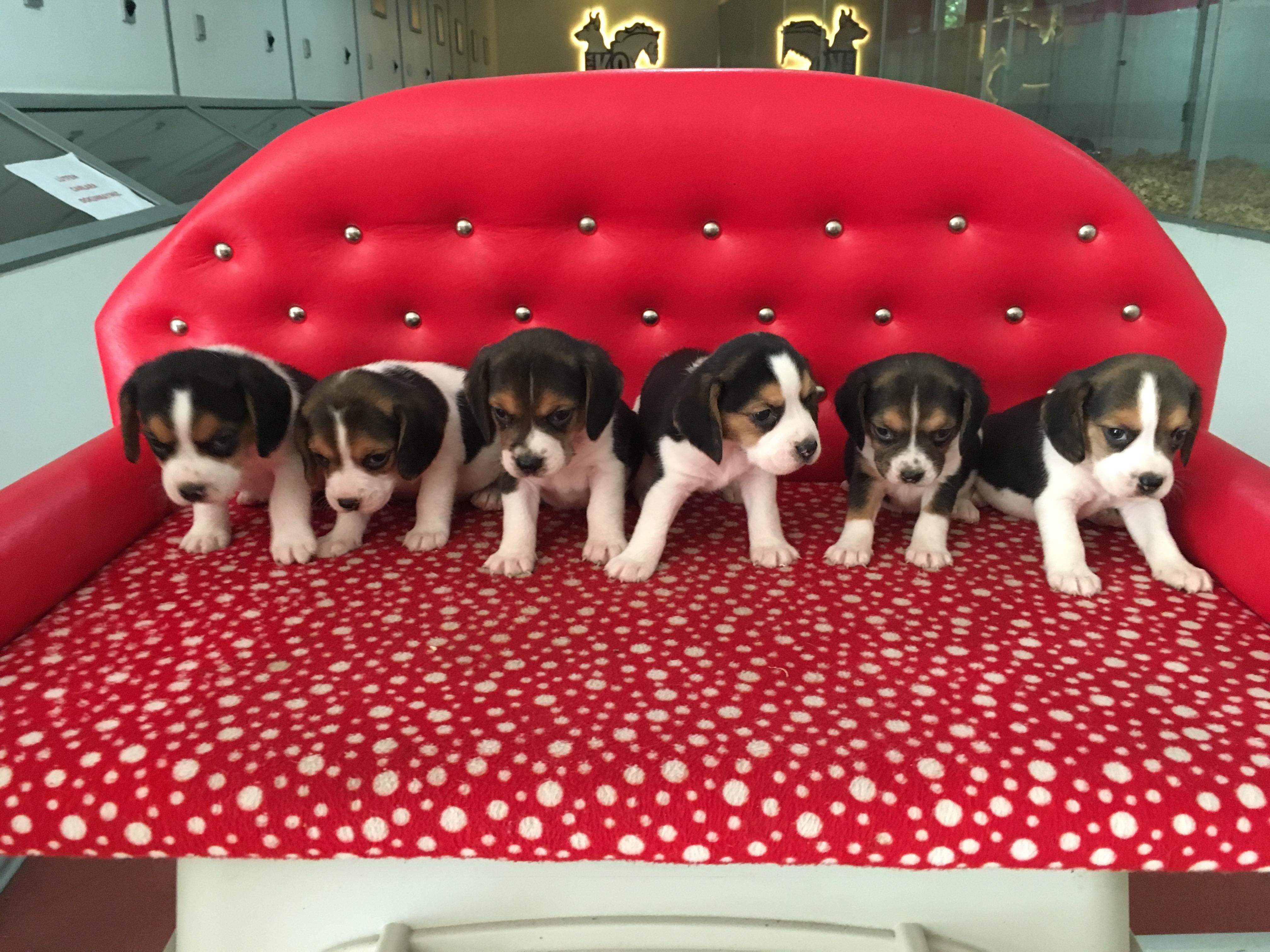 Satılık Beagle Yavruları