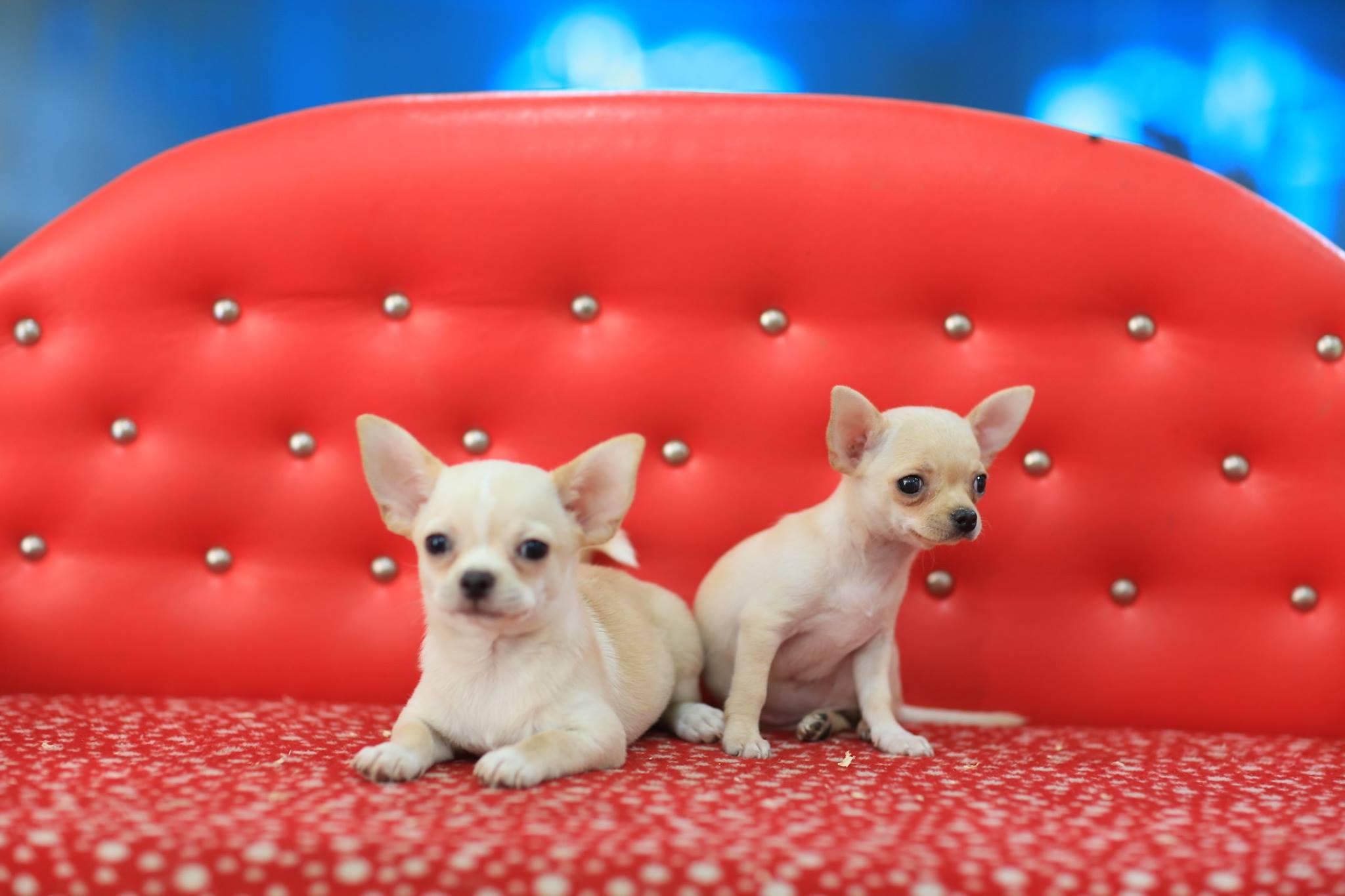 Satılık Chihuahua Yavruları irt: 05326824205