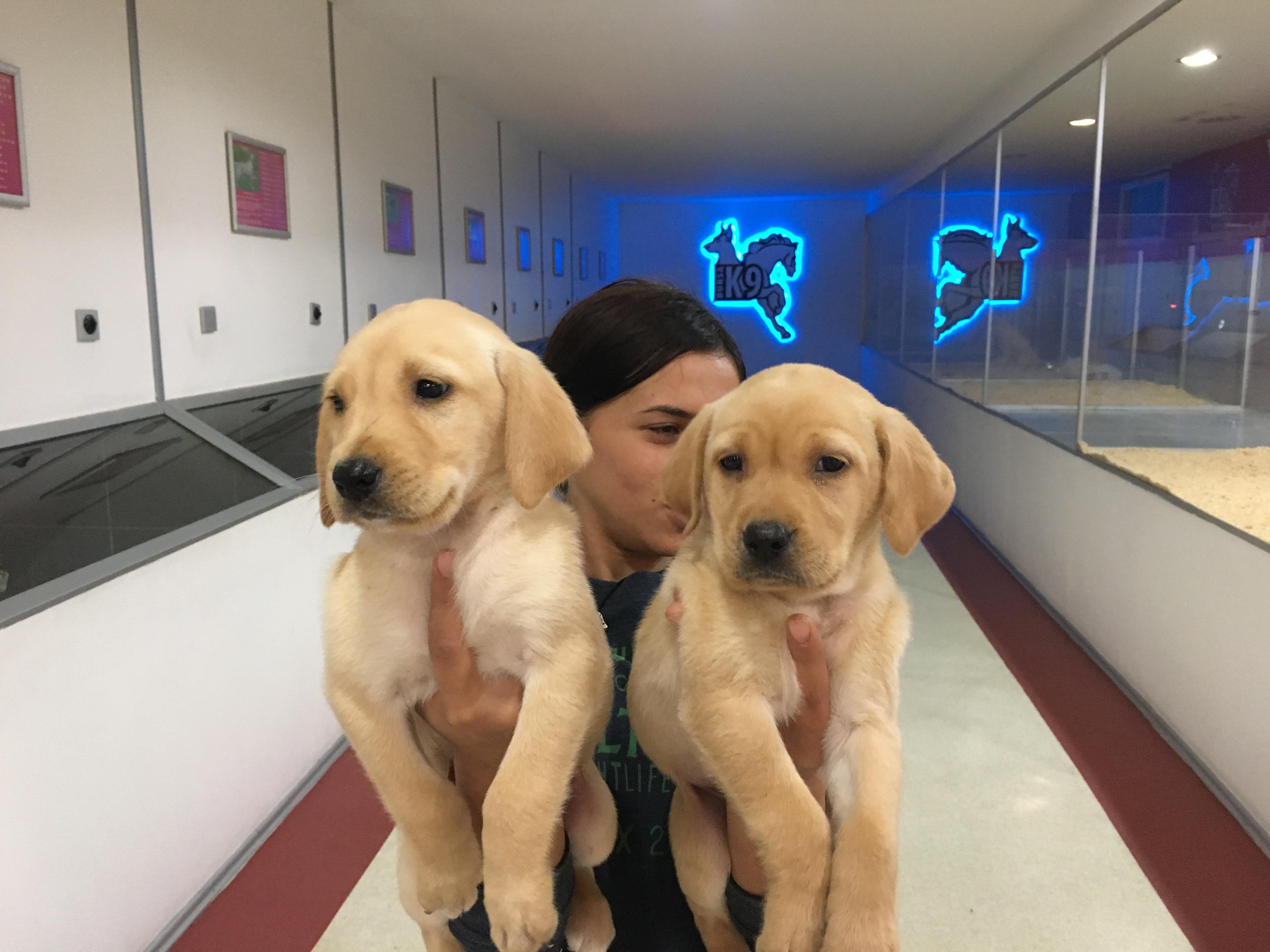 Satılık Labrador  Yavruları