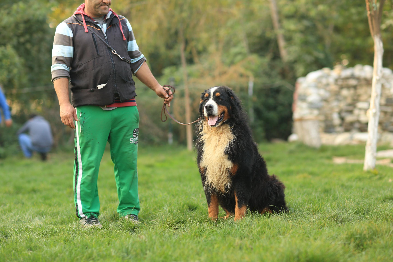 Eğitimli Bernese Dağ Köpeği
