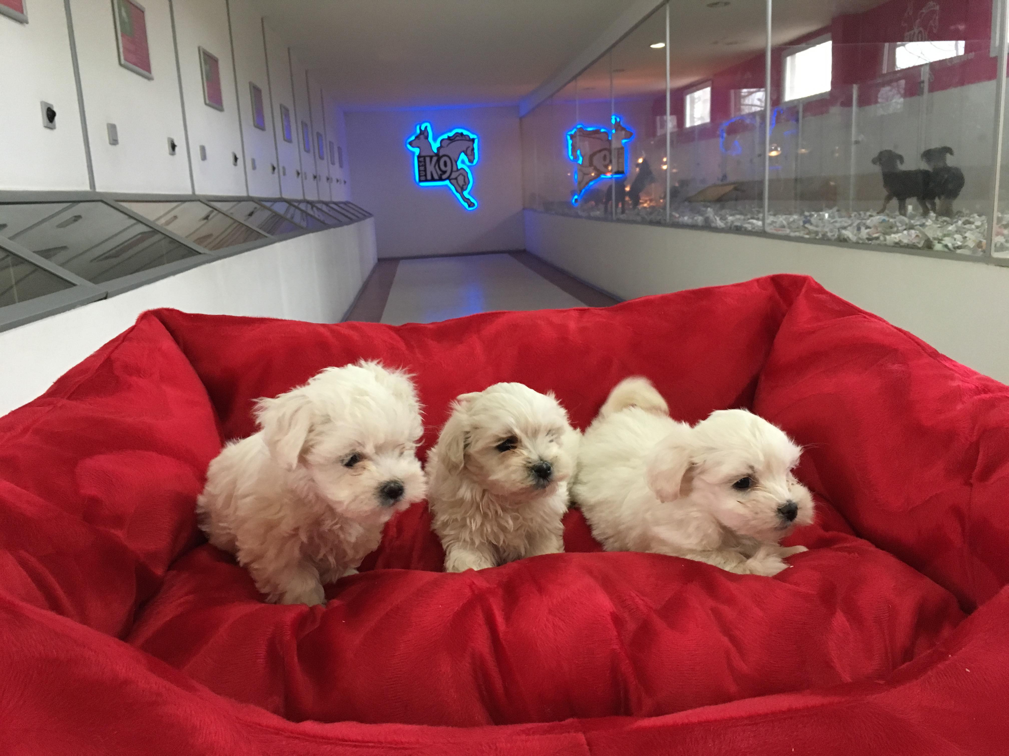 Satılık Maltese Terrier Yavruları
