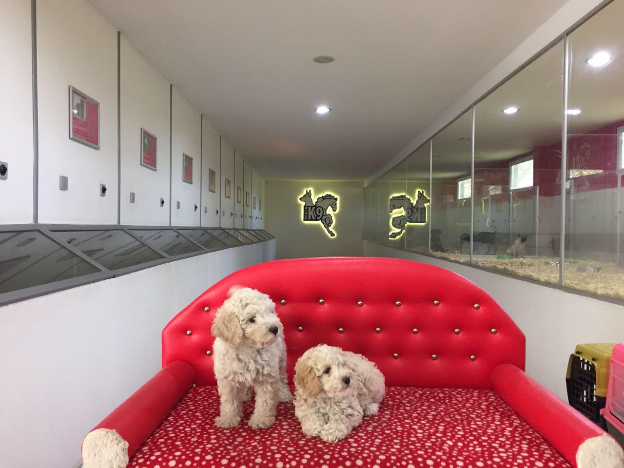 Satılık Toy Poodle Yavruları