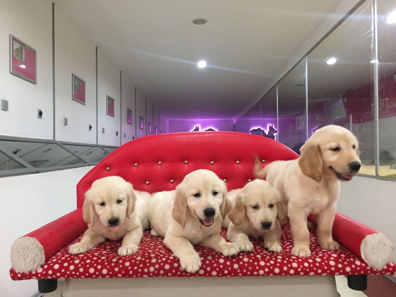 Satılık Golden Retriever Yavruları