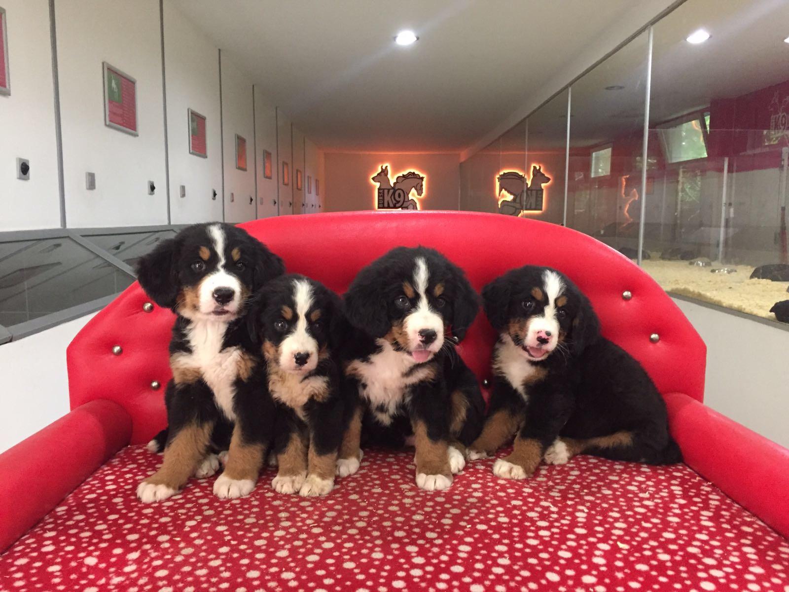 Bernese Dağ Köpeği Yavruları