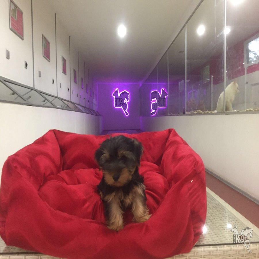 Satılık Yavru Yorkshire Terrier