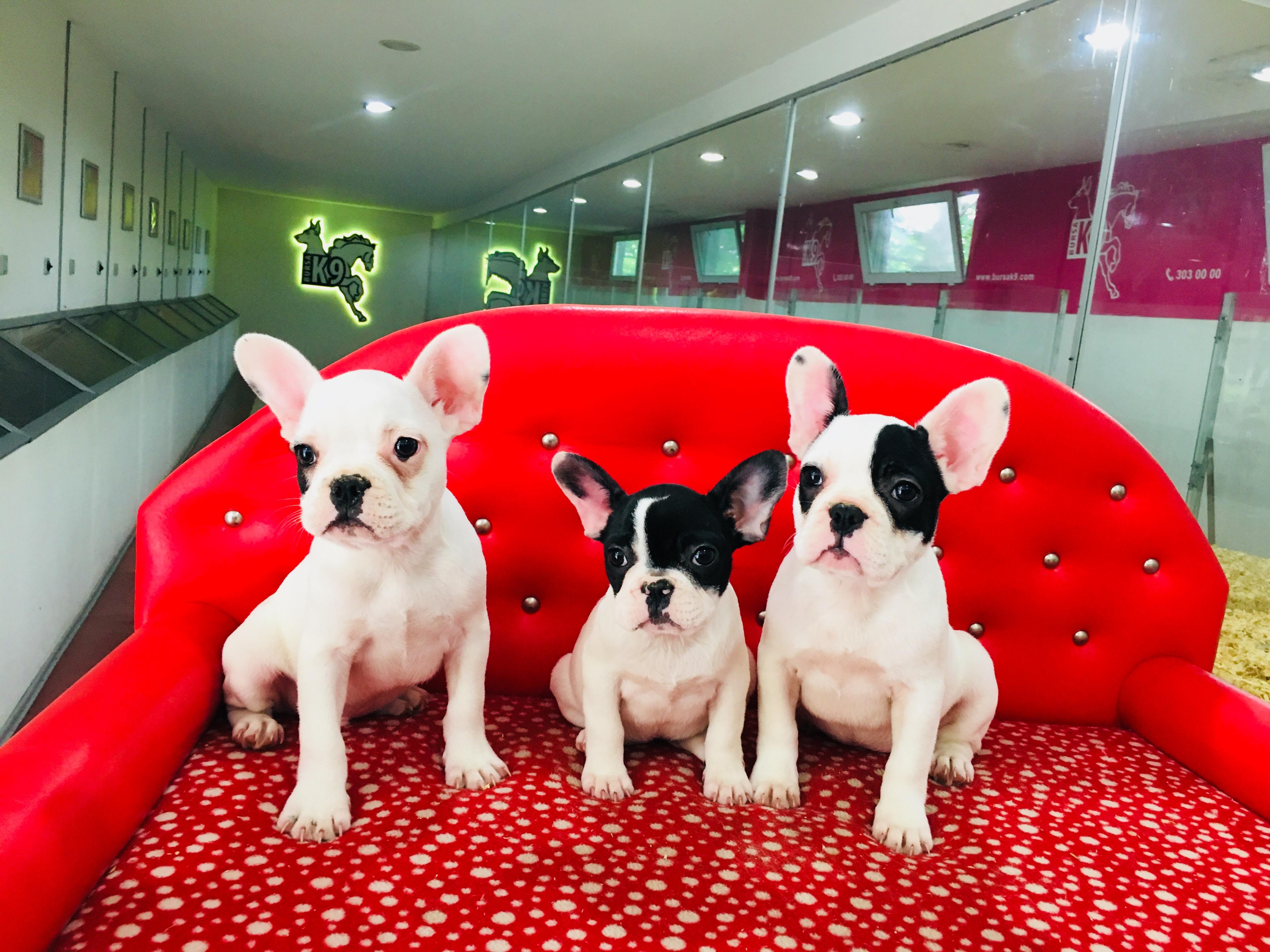 Satılık French Bulldog Yavruları