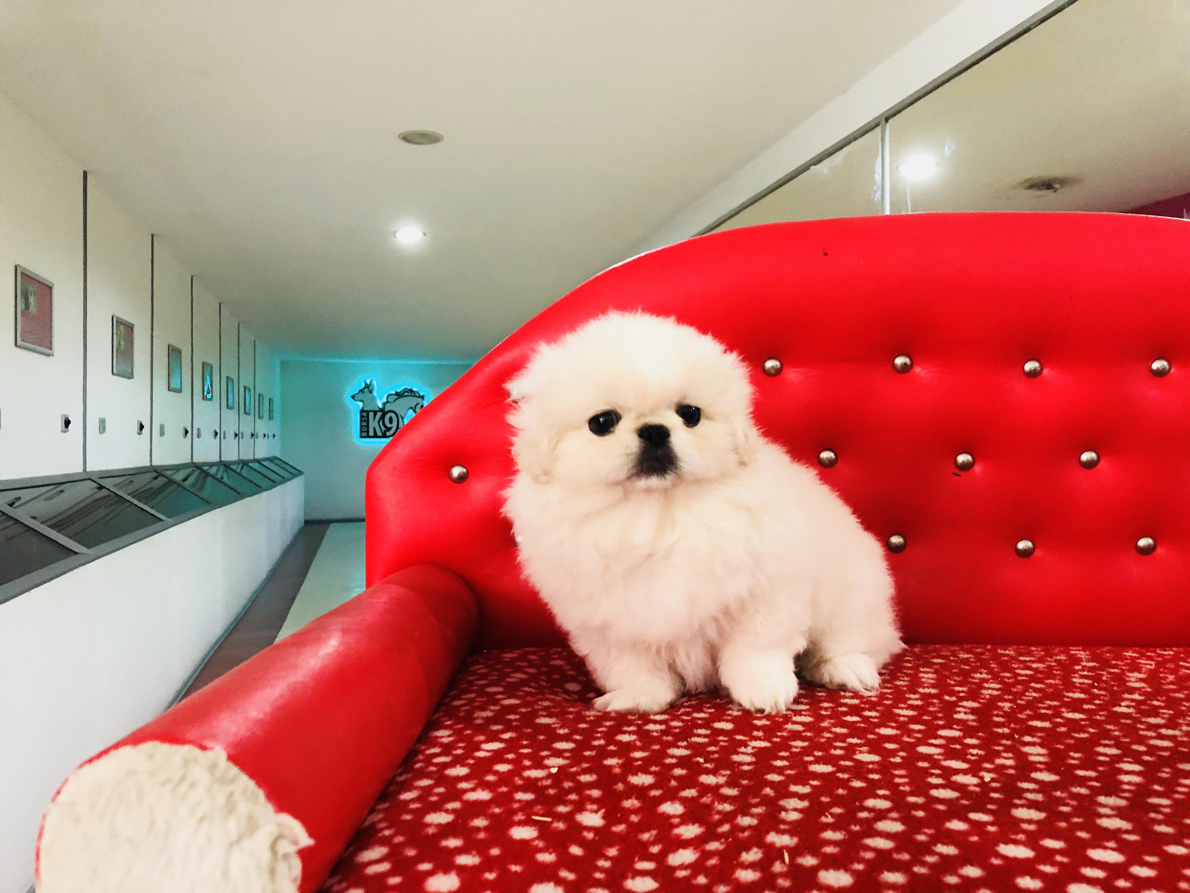 Satılık Beyaz Pekingese Yavru