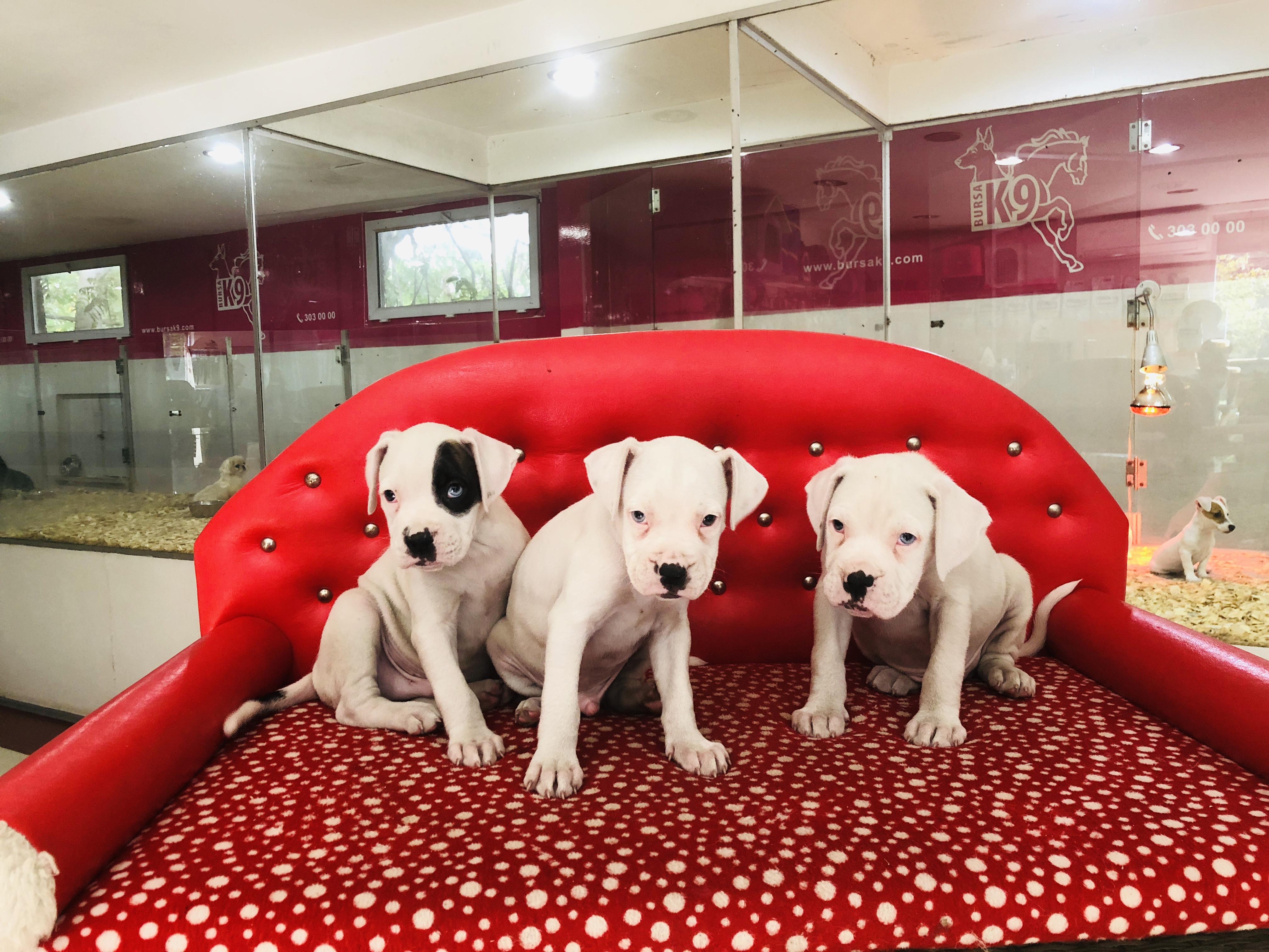 Beyaz Boxer Yavrularımız