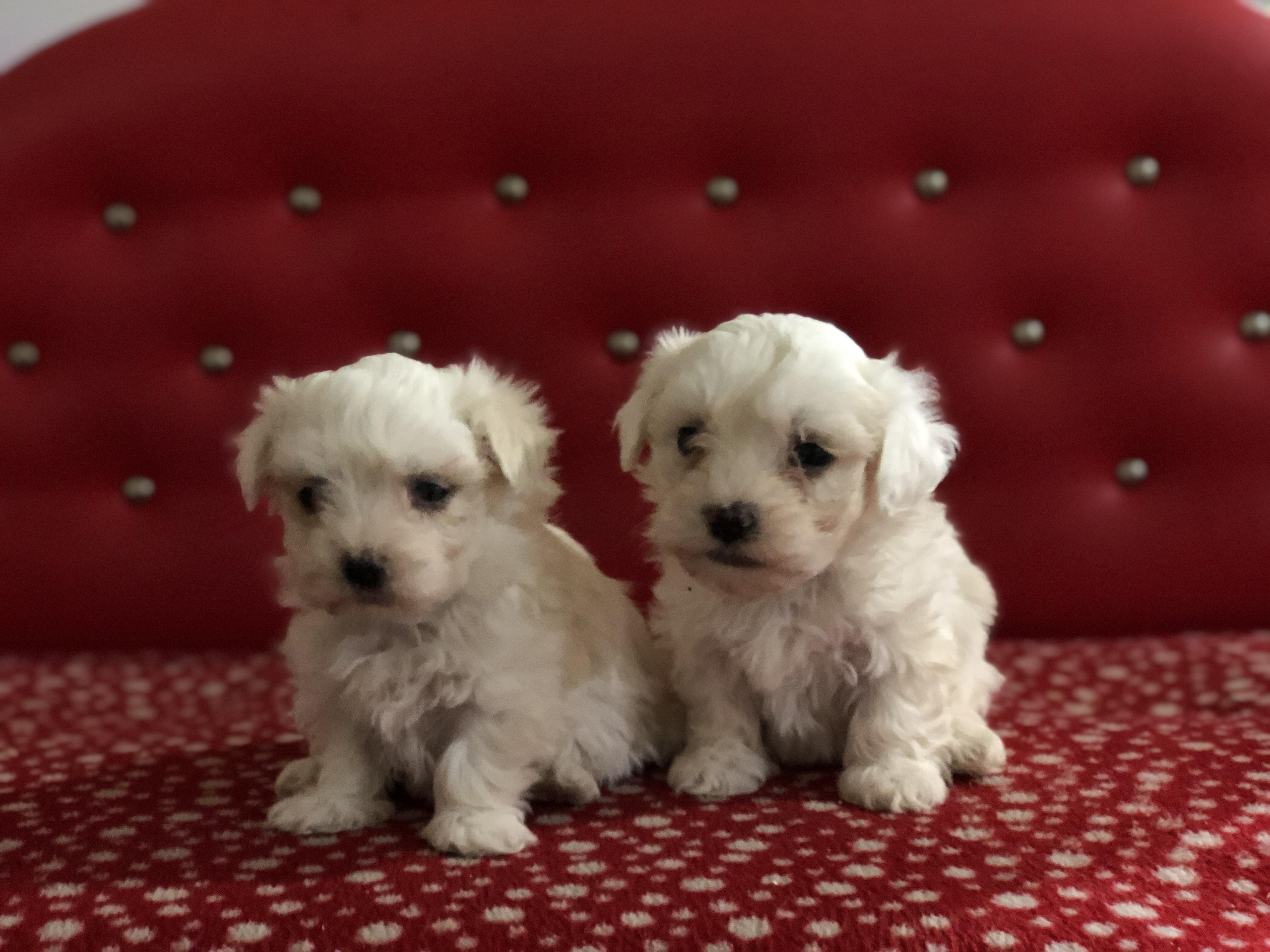Maltese Terrier Yavru Köpeklerimiz